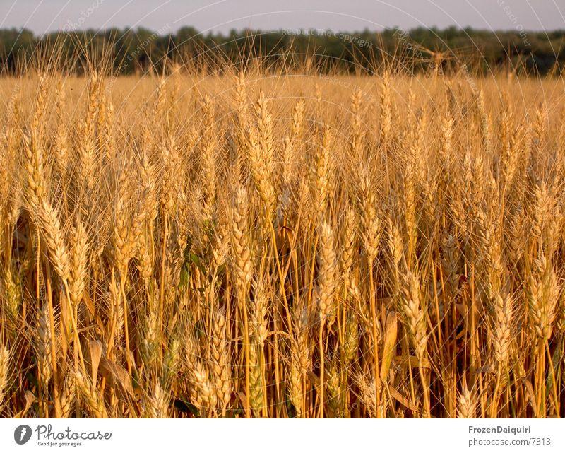 Sun Warmth Brown Orange Field Physics Agriculture Grain Wheat