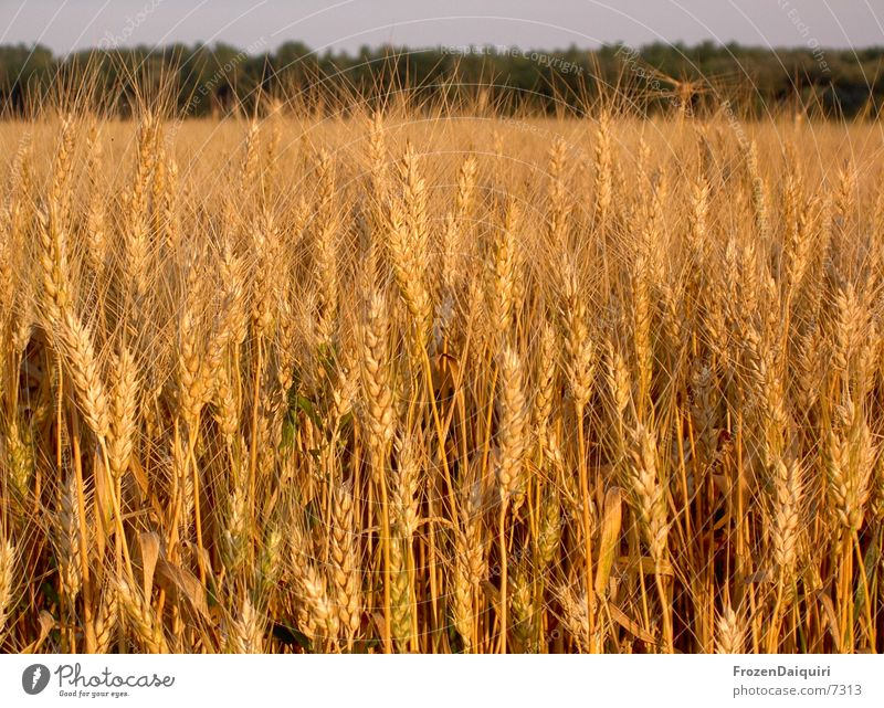 Sun Warmth Brown Orange Field Physics Agriculture Grain Wheat