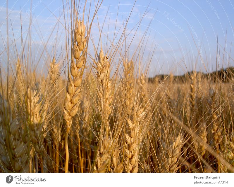 Sun Warmth Brown Orange Field Physics Agriculture Grain Wheat Ear of corn