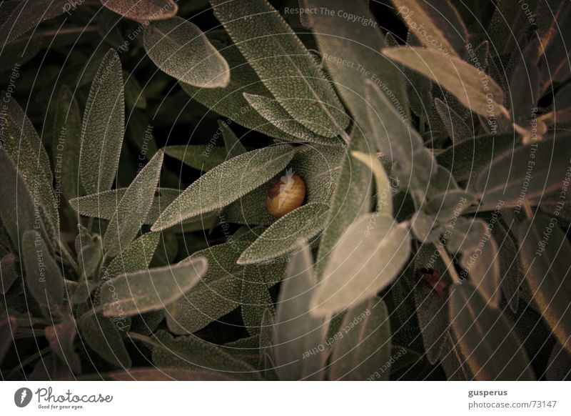 Green Herbs and spices Wild animal Delicious Fragrance Shabby Odor Snail Sense of taste Sage Feral Herb garden Spicy