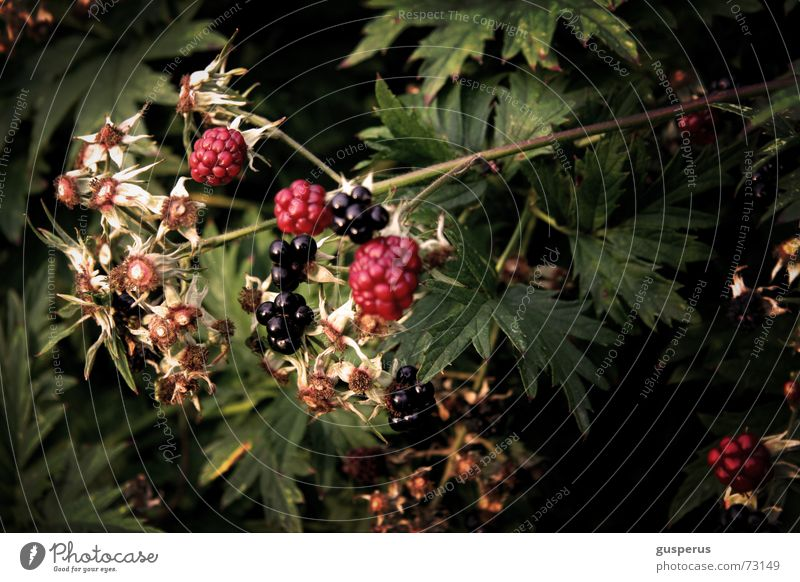 { BromBearBusch } Blackberry bush Immature Purloin Shabby Bushes Nature Wild animal Feral Berries bramble plundered by the troops mineral savaged