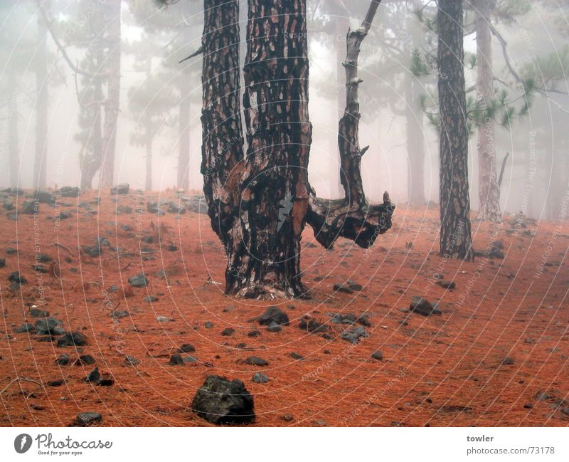 Nature Plant Tree Red Loneliness Forest Autumn Earth Fog Twin Fir needle Spain Cloud forest La Palma