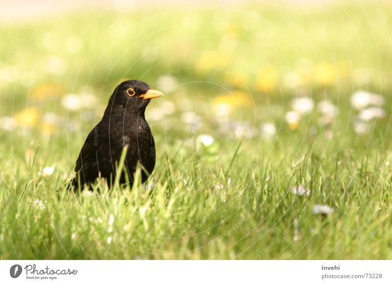 Nature Meadow Freedom Bird Flying Near Animal Habitat Blackbird