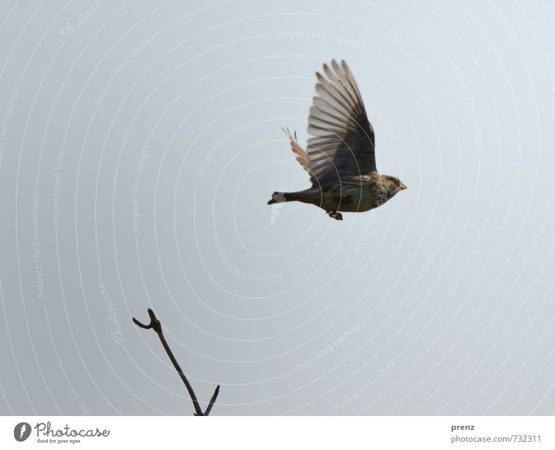Sky Nature Animal Environment Gray Brown Bird Wild animal Beautiful weather Wing Floating Songbirds Twigs and branches Corn Bunting