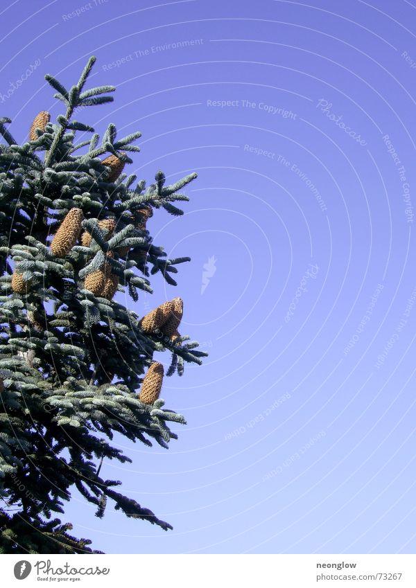 Sky Blue Green Winter Snow Fir tree Fir needle