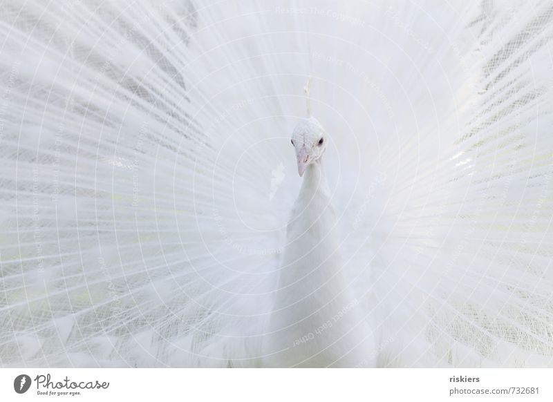 Beautiful White Animal Exceptional Bright Elegant Power Wild animal Esthetic Observe Watchfulness Zoo Exotic Self-confident Attentive Peacock