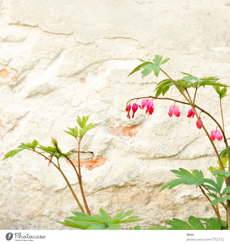 Blossoming Hearts Plant Spring Flower Garden Wall (barrier) Wall (building) Green Red Spring fever Plaster Interior courtyard Beautiful Flowering plant