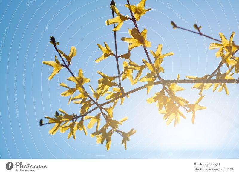 Sky Nature Blue Plant Yellow Spring Blossom Bright Bushes Joie de vivre (Vitality) Beautiful weather Friendliness Cloudless sky Spring fever Forsythia