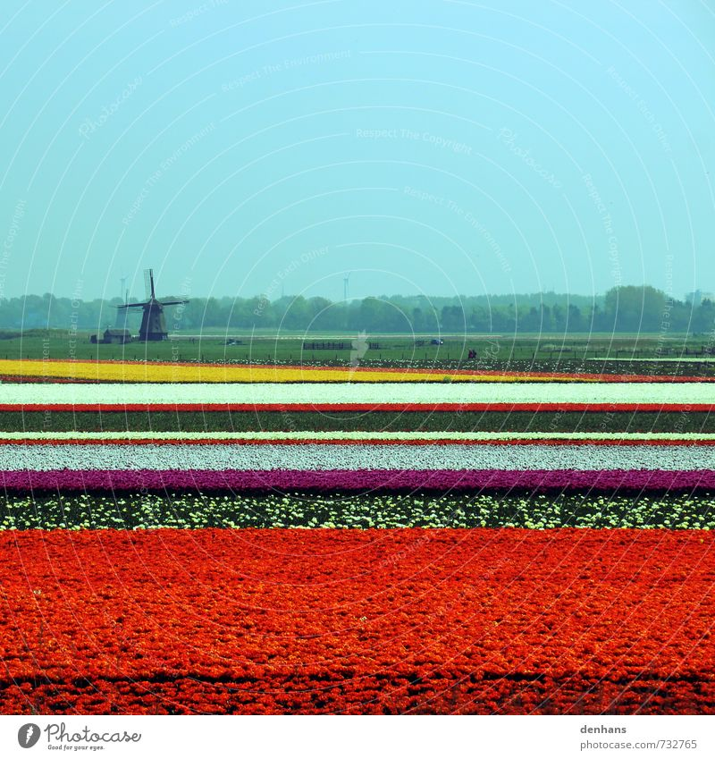 Tulip fields with windmill Vacation & Travel Tourism Netherlands Landscape Flower Field Windmill Blossoming Looking Fragrance Retro Multicoloured Orange Red