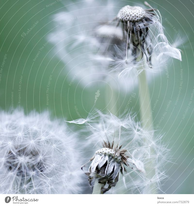 second spring. Environment Nature Plant Spring Autumn Flower Blossom Dandelion Old Touch Blossoming Faded To dry up Simple Natural Soft Gray Green White