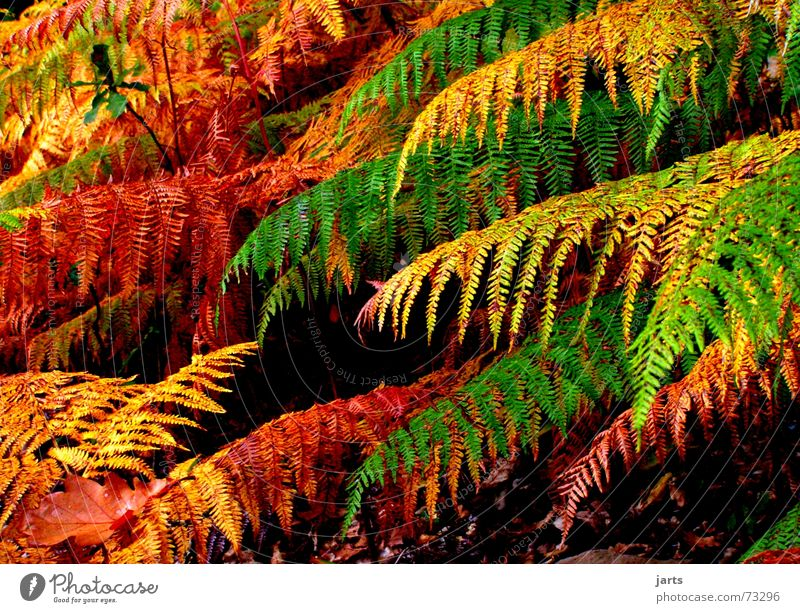 Colour Forest Autumn Dream Fairy tale Pteridopsida