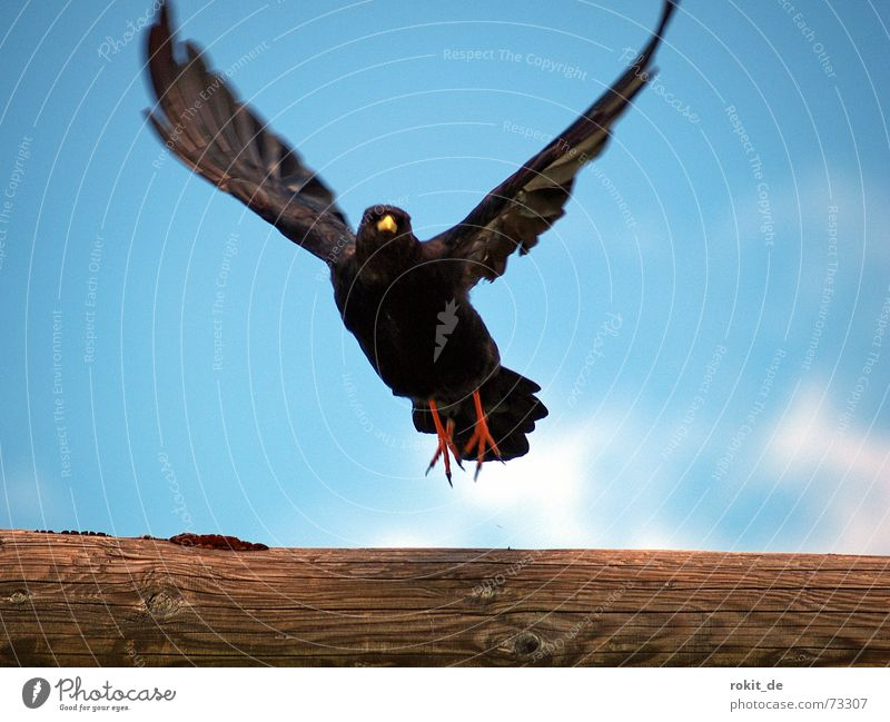 Fly Robin fly, up, up to the sky Jackdaw Roof Red Black Yellow Beak Air Clouds Sky Wind Airy Hover Feather Wood Wing Vacation & Travel Beginning Mountain range