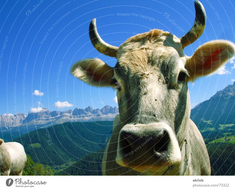 mountain cow Cow Animal Vacation & Travel Dolomites Watchfulness Alert Mountain Sky Blue Interest