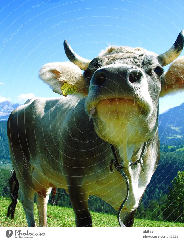 Sky Blue Vacation & Travel Animal Mountain Laughter Funny Nose Cow Watchfulness Odor Interest Humor Italy Alert Dolomites