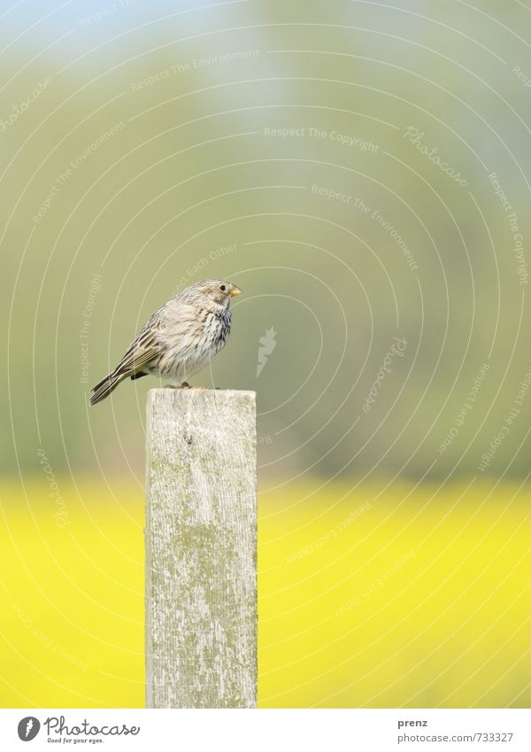 Grey Bunting Environment Nature Animal Wild animal Bird 1 Yellow Gray Songbirds Wooden stake Sit Corn Bunting Colour photo Exterior shot Deserted Copy Space top