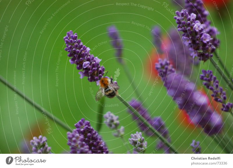 lavender Bee Bumble bee Lavender France Somali Blue Green Red Insect Plant Blossom Animal Fragrance Medicinal plant