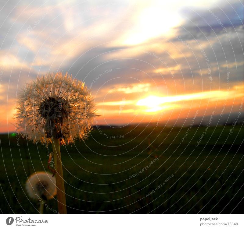 Father and son Dandelion Summer Sunset Sunrise Flower Meadow Kitsch Sky