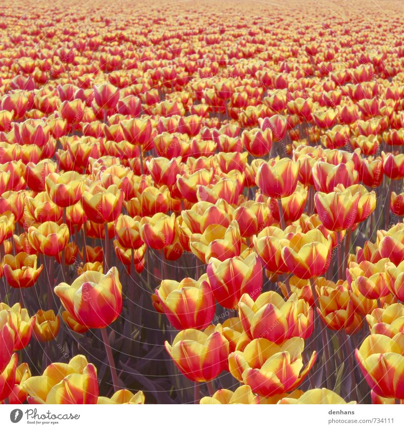 Tulip Sea - More Tulips Vacation & Travel Tourism flower grower Agriculture Forestry Nature Plant Spring Flower Field Blossoming Faded Fragrance Infinity