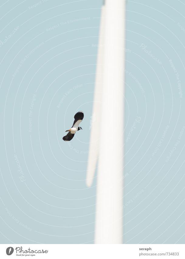 Peewit Sky Nature Animal Flying Bird Wild Feather Wing Upward Story Beak Marsh Ornithology Wet meadow Wader Spread