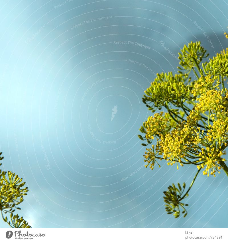 Sky Nature Blue Plant Yellow Growth Blossoming Skyward Apiaceae Dill Dill blossom
