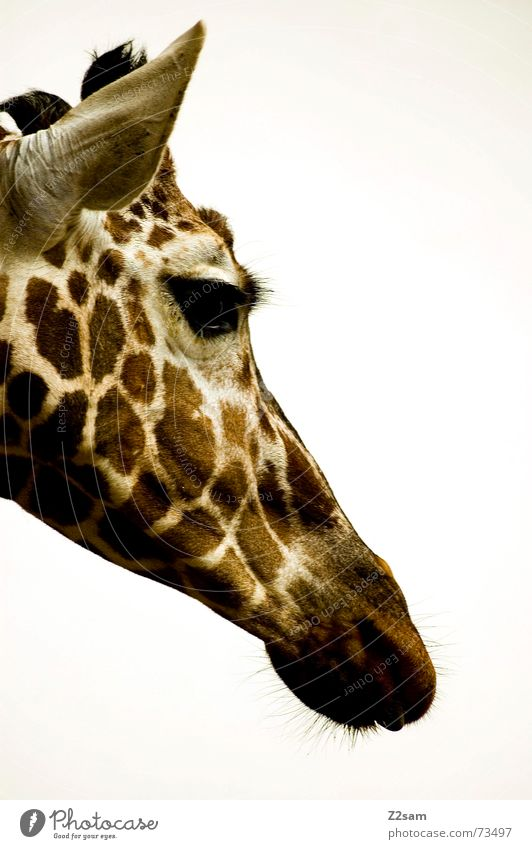 Animal Eyes Brown Large Sweet Ear Point Long Beige Snout Spotted Giraffe