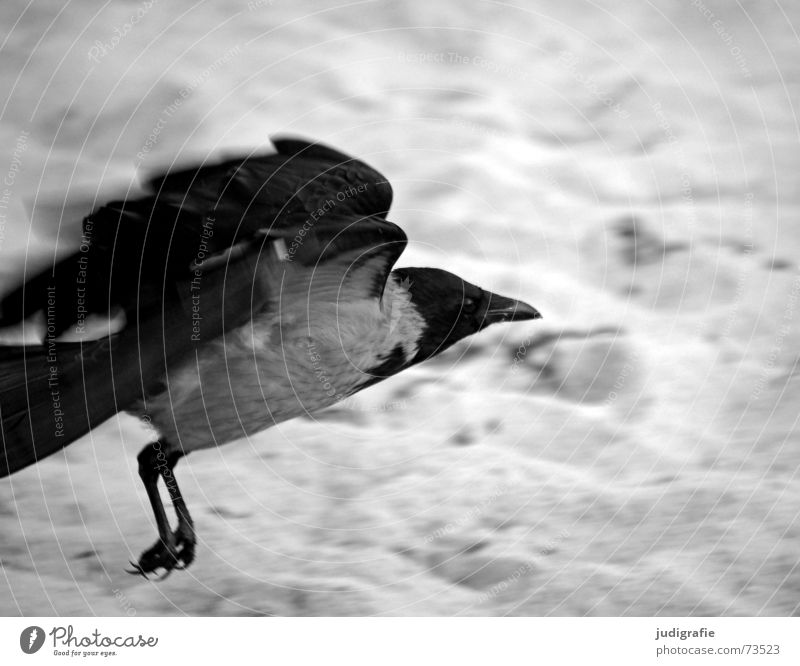launch Crow Carrion crow Bird Animal Beach Coast Ocean Feather Beak Black Gray Raven birds Western Beach Black & white photo Aviation Beginning Sand Dynamics