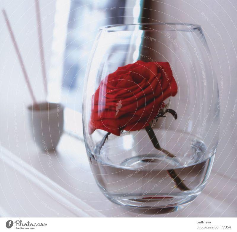 rose Nature Rose Valentine's Day