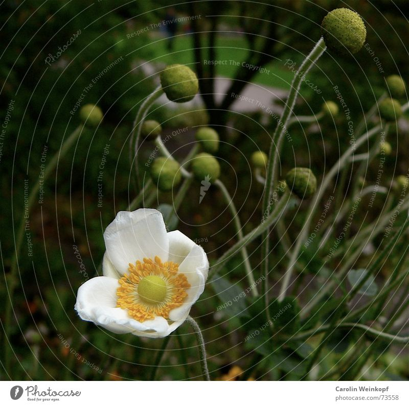 Nature Old White Green Tree Plant Flower Yellow Autumn Lanes & trails Blossom Park Growth Round Ball Sphere