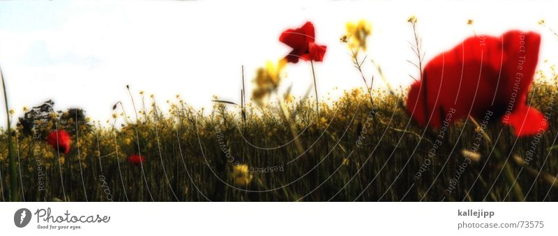 Nature Flower Red Summer Meadow Wall (building) Blossom Growth Blossoming Garden Bed (Horticulture) Poppy Jubilee Flowerbed Congratulations Corn poppy