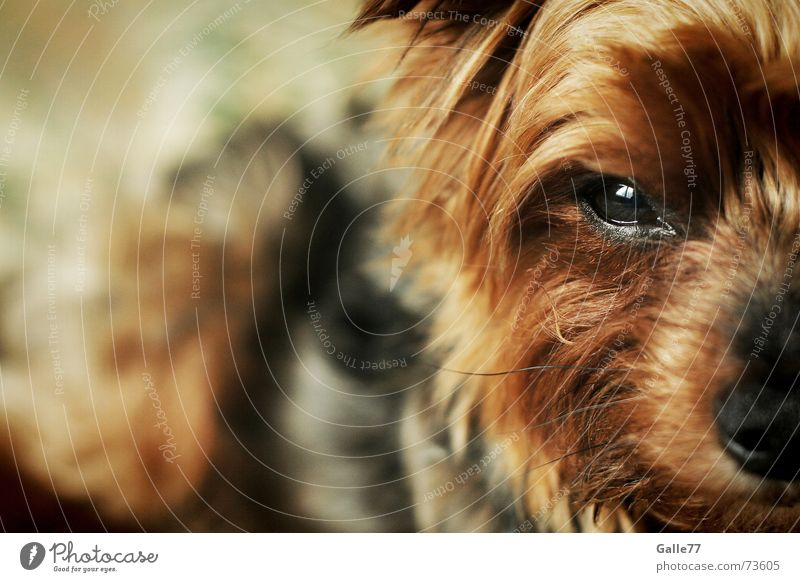 Dog Small Sweet Loyalty Terrier Yorkshire terrier