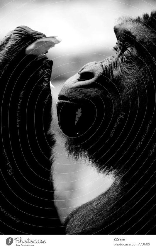 mmmm.... daintily Monkeys Animal Gorilla Silhouette Snout Virgin forest Pelt Black Glittering To enjoy Nutrition eat Fruit To hold on Profile