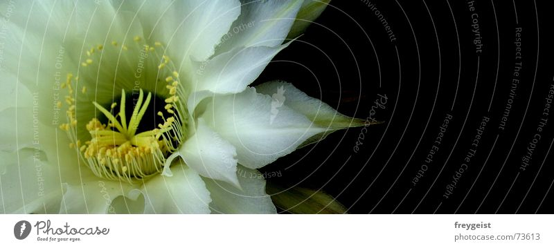 Queen of the night 3 Blossom Cactus Flower Yellow black white flowers colours inside
