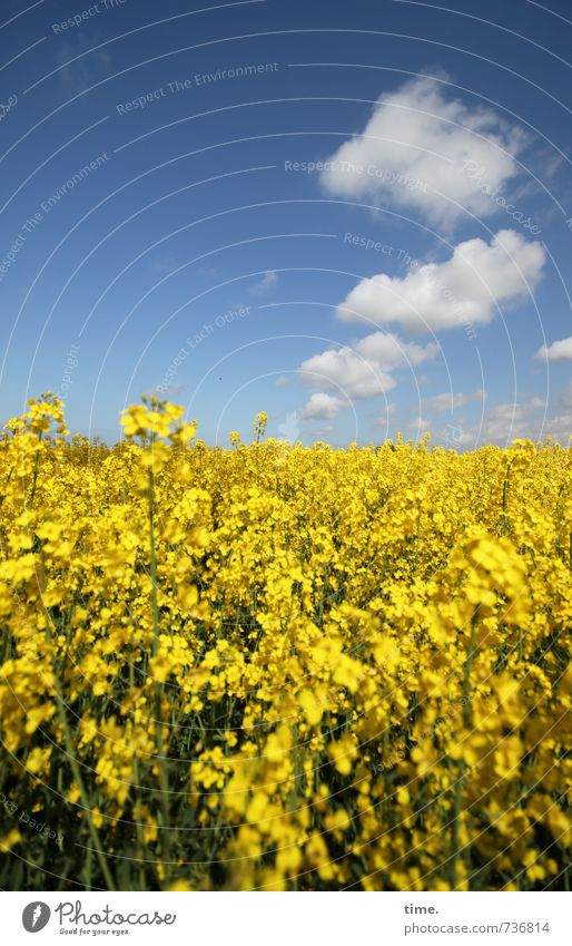 . Agriculture Forestry Field Environment Nature Landscape Sky Clouds Spring Beautiful weather Agricultural crop Canola Canola field Oilseed rape cultivation