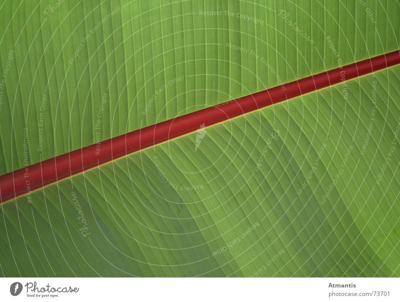 palm leaf Palm tree Red Green Banana Leaf Plant Diagonal