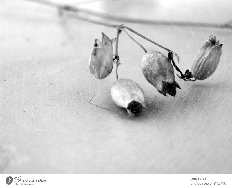 Nature Plant Blossom Sadness Grief 4 Delicate Dry Black & white photo Dried Dried flower