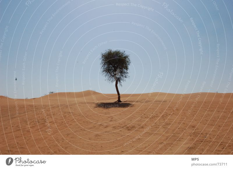 The desert tree of Dubai Tree Physics Hot Dry Loneliness Plant Desert Sand Warmth Sky Landscape Nature Beautiful weather