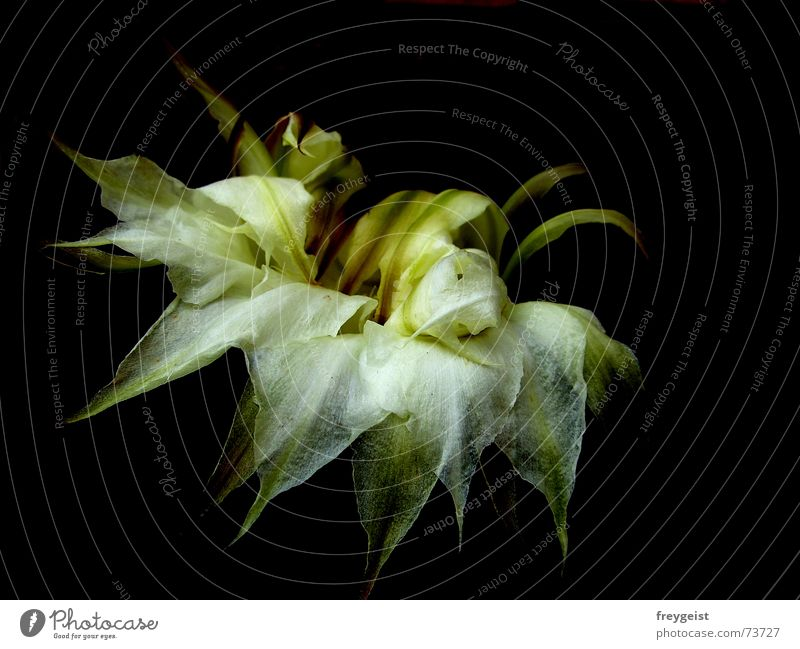 Beauty is fleeting... Cactus Blossom Transience White Black Green End Faded flower Limp