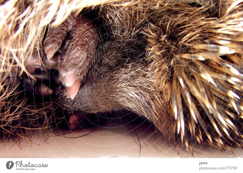 good night Hedgehog Sleep Night Dream Animal Pelt Trust Mammal jarts Spine