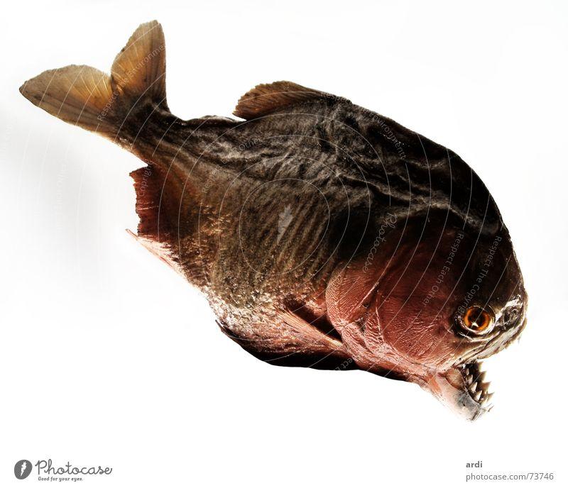 Animal Fish Dangerous Threat Set of teeth Water wings Caution Dandruff Piranha