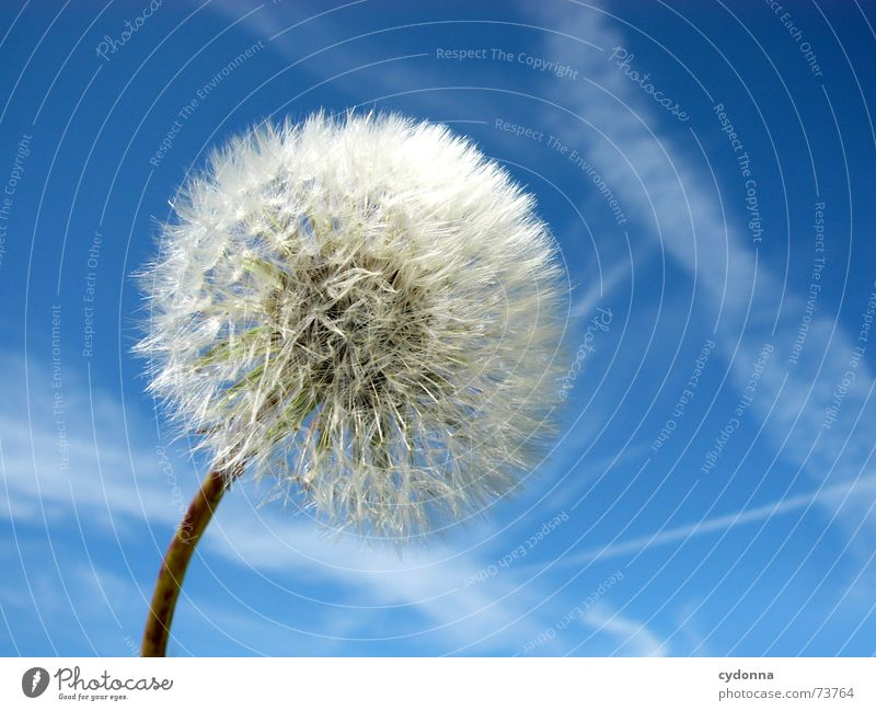 dandelion Beautiful Far-off places Summer Moody Color gradient Air Calm Dandelion Blow Small Fine Plant Perfect Clouds Sky Nature Blue Clarity Empty Trip Wind