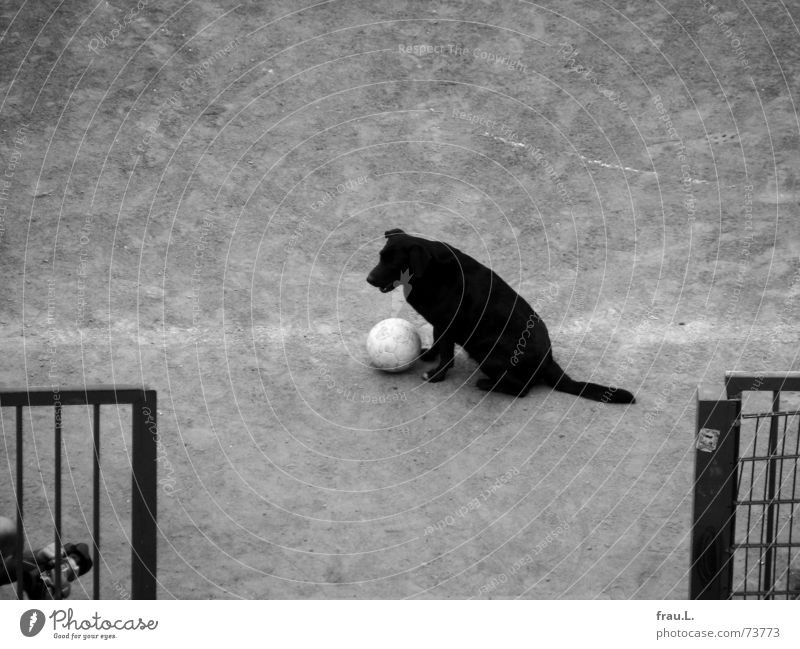 Dog Soccer Observe Ball Fence Traffic infrastructure Mammal Football pitch Tread Filming Ball sports Sporting grounds