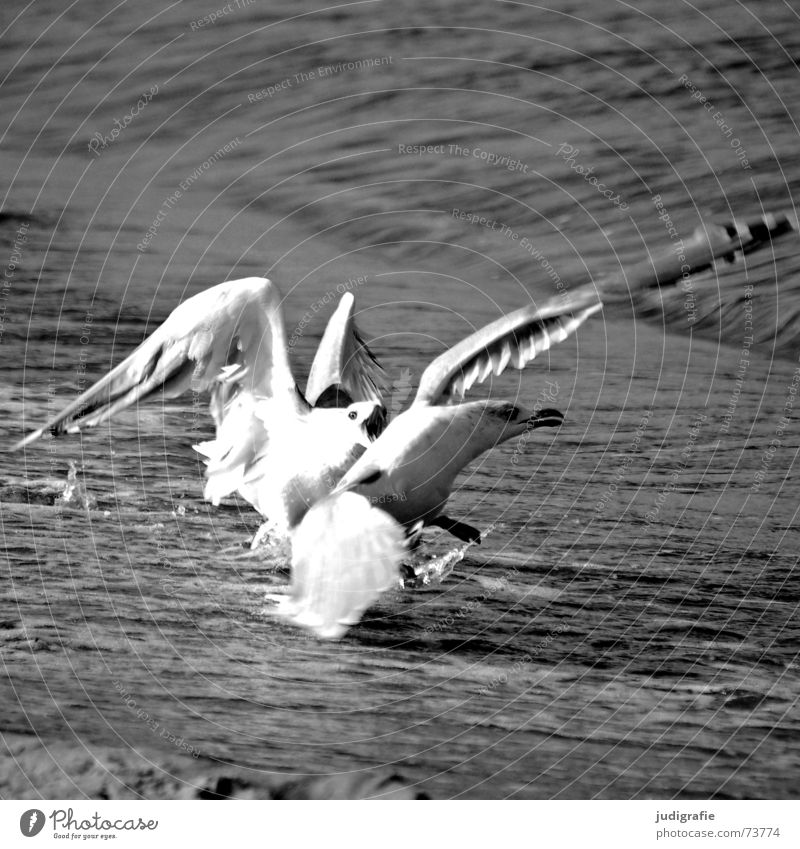 brawlers Seagull Silvery gull Bird Attack Aggravation Dangerous Ocean Beach Black Black & white photo Anger Argument Fight Threat Fear Baltic Sea Sand Water