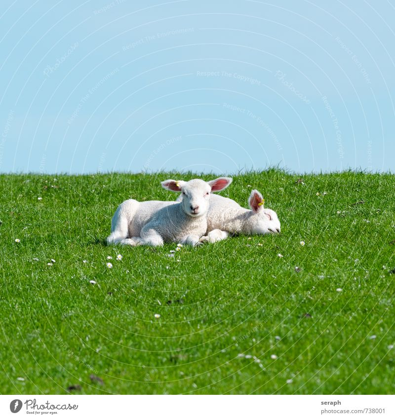 Lambs Relaxation Landscape Animal Grass Baby Cute Agriculture Pasture To feed Sheep Rural Large-scale holdings Grassland Wool Feeding