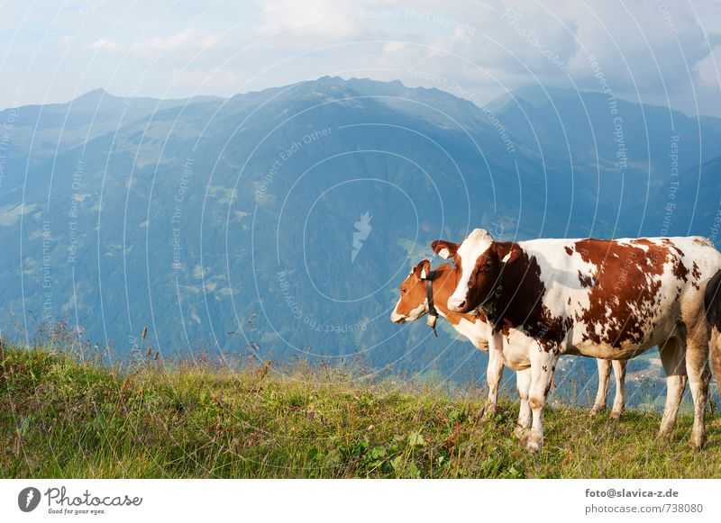 Cows on the meadow, Zillertal, Austria Relaxation Vacation & Travel Tourism Mountain Nature Landscape Meadow Lanes & trails Farm animal 2 Animal Free Healthy