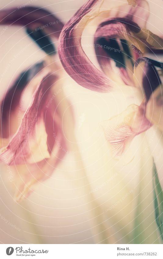 Flower Blossom Pink Change Transience Violet Tulip Blossom leave Fragile Faded Banner Pistil