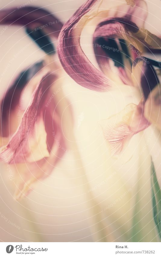 In the eye of the beholder Flower Tulip Blossom Faded Violet Pink Transience Change Pistil Blossom leave Fragile Banner Colour photo Deserted