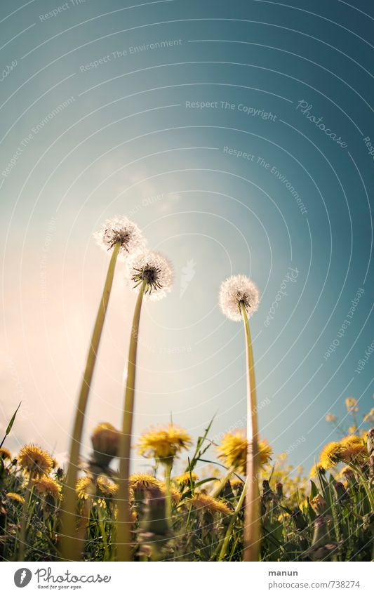 nerd Nature Sky Spring Beautiful weather Plant Flower Leaf Blossom Wild plant Dandelion Dandelion field Meadow Blossoming Tall Natural Perspective Symmetry