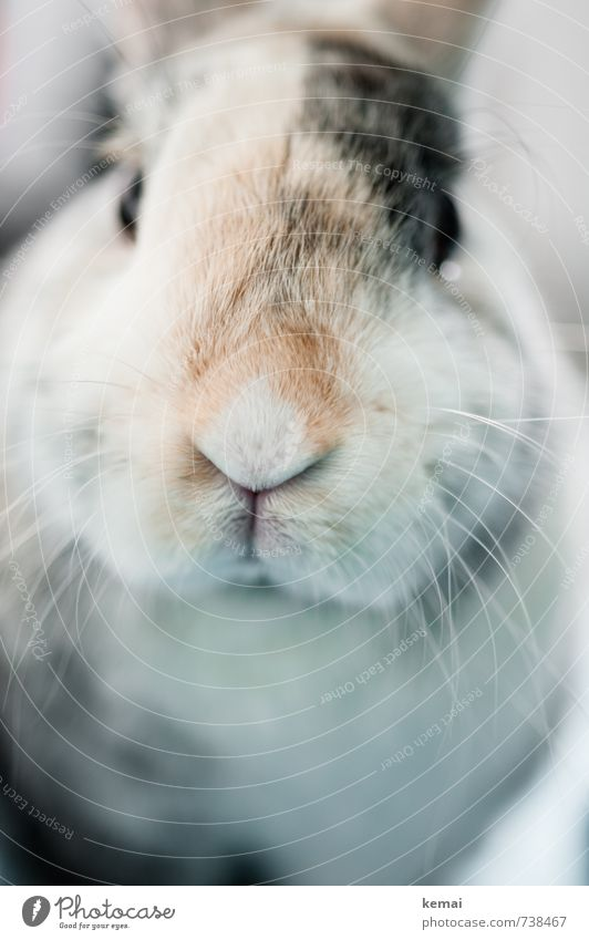 And on Mondays Helmut says hello Pet Animal face Pelt Hare & Rabbit & Bunny Pygmy rabbit pygmy hare Whisker Snout 1 Friendliness Bright Cute Beautiful Sympathy