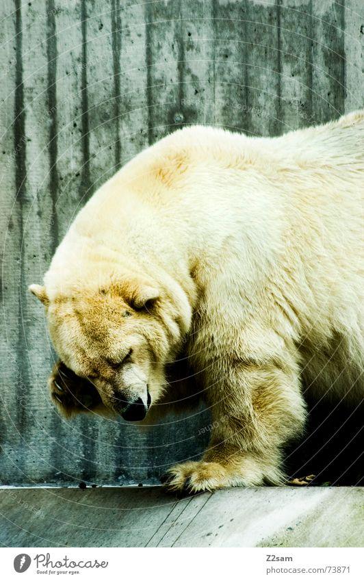 Polar bear - gschamig Animal Polar Bear Alaska The Arctic Pelt Sweet Dangerous Land-based carnivore Large White Cute Shame shamefaced