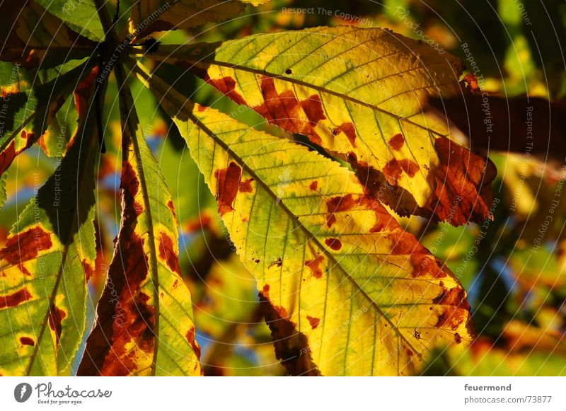 Schöön autumnal. Autumn Leaf Tree Light September October Autumn leaves Chestnut tree Shadow sheets chestnut trees the sun shade golden october